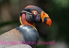 A2. King Vulture (Sarcorhamphus papa) No post-processing done to photo, only cropped. Nikon NEF (RAW) files available. NPP Straight photography at noPhotoShopping.com