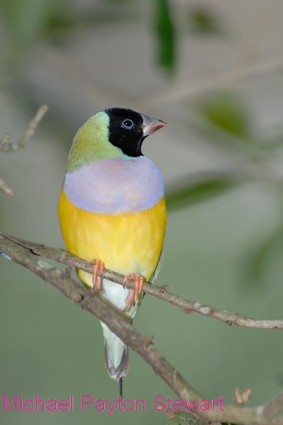 C16. Lady Gouldian Finch 3. No post-processing done to photo. Nikon NEF (RAW) files available. NPP Straight photography.