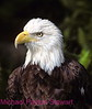 A154. Bald Eagle (Halieaeetus leucocephalus) Nikon F5 camera, Nikkor 80-400mm VR lens, SB 800 flash and Velvia 50 slide film. I guarantee that this photo was not digital enhanced or changed from the original slide only cropped. NPP Straight Photography at noPhotoShopping.com