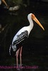 A155. Painted Stork 2 (Mycteria leucocephala) Nikon F5 camera, Nikkor 80-400mm VR lens and SB-800 flash on Velvia 50 slide film . I guarantee that this photo was not digital enhanced or changed from the original slide only cropped. NPP Straight photography at noPhotoShopping.com