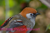 A46. Red-tailed Laughing Thrush7 (Garrulax milnei) No post-processing done to photo. Nikon NEF (RAW) files available. NPP Straight Photography at noPhotoShopping.com
