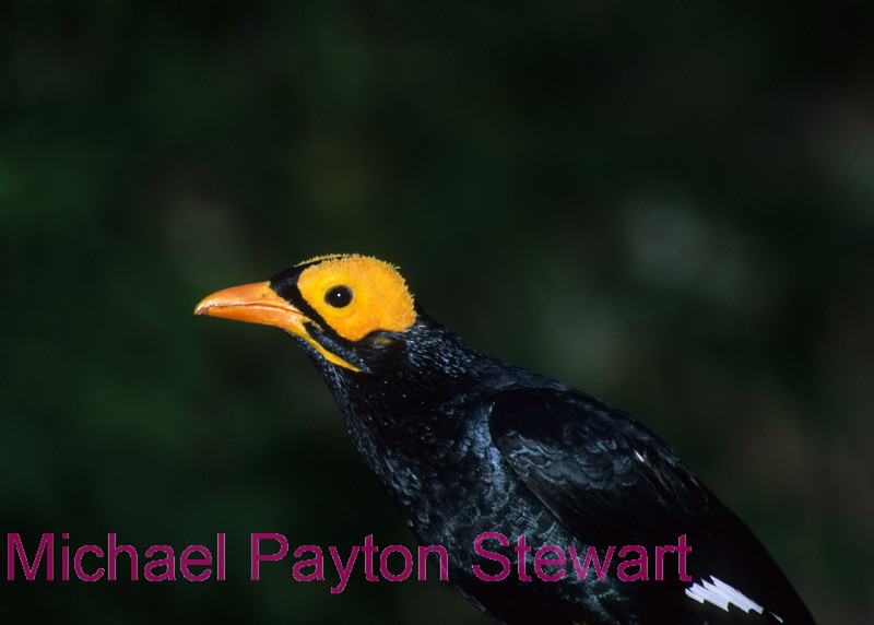 A168. Yellow-faced Mynah (Mino dumontii) Nikon F5 camera, Nikkor 80-400mm VR lens, SB 800 flash and Velvia 50 slide film. I guarantee that this photo was not digital enhanced or changed from the original slide only cropped. NPP Straight photography