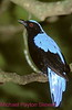 A161. Fairy Bluebird 2 (Irenidae) Nikon F5 camera, Nikkor 80-400mm VR lens and SB-800 flash on Velvia 50 slide film . I guarantee that this photo was not digital enhanced, only cropped. NPP Straight photography at noPhotoShopping.com