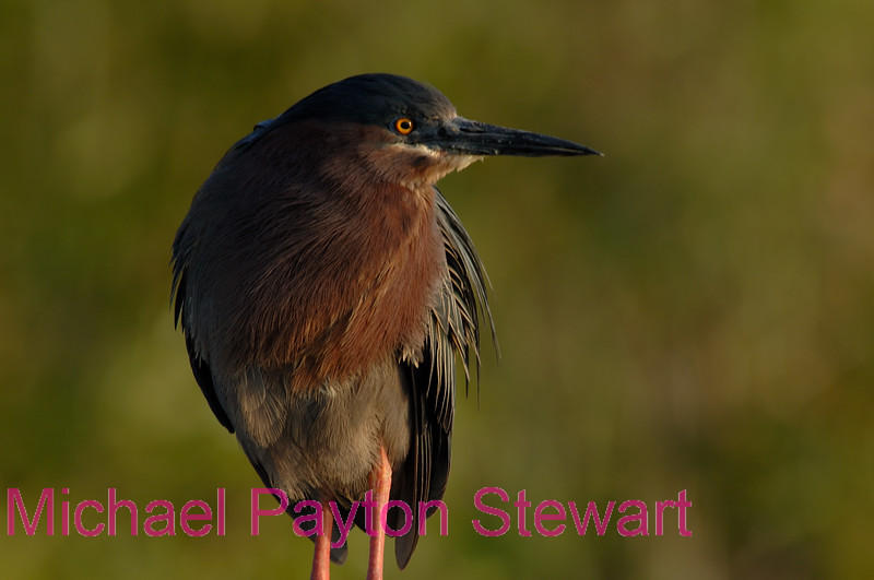 B156. Green Heron. No post-processing done to photo. Nikon NEF (RAW) files available. NPP Straight Photography at noPhotoShopping.com