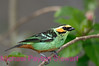C34. Golden-eared Tanager. No post-processing done to photo. Nikon NEF (RAW) files available. NPP Straight Photography