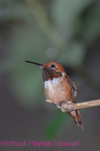 C37. Hummingbird. No post-processing done to photo. Nikon NEF (RAW) files available. NPP Straight photography.