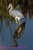 B158. Tricolored Heron. No post-processing done to photo. Nikon NEF (RAW) files available. NPP Straight Photography at noPhotoShopping.com