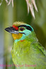 A71. Black-browed Barbet 2 (Megalaima oorti) No post-processing done to photo. Nikon NEF (RAW) files available. NPP Straight Photography at noPhotoShopping.com