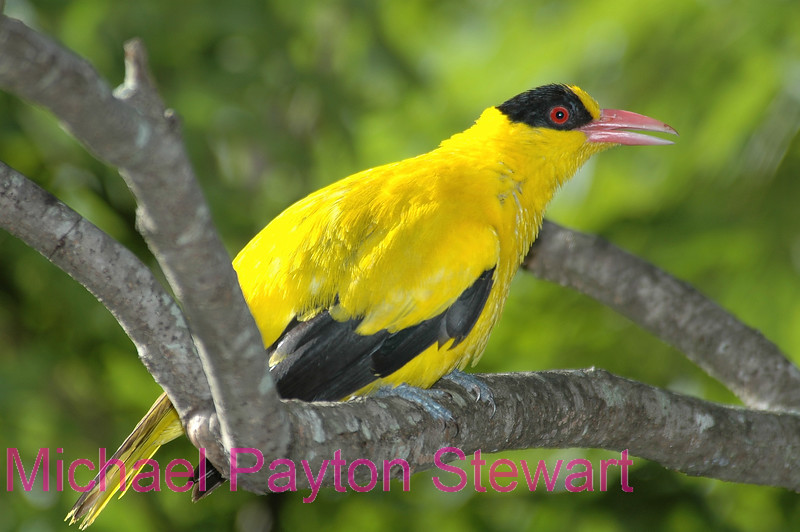 A7. Black-naped Oriole (Oriolus chinensis) No post-processing done to photo. Nikon NEF (RAW) files available. NPP Straight Photography at noPhotoShopping.com