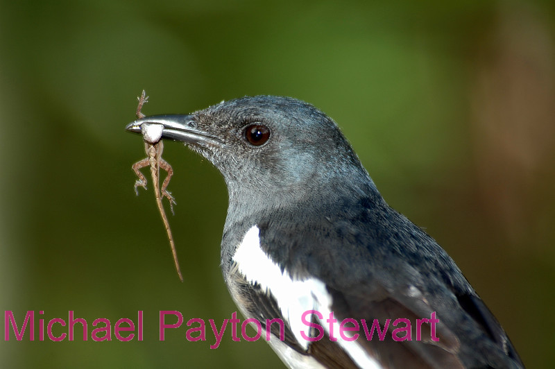 A8. Magpie Robin (Copsychus saularis) No post-processing done to photo. Nikon NEF (RAW) files available. NPP Straight Photography at noPhotoShopping.com