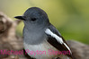A47. Magpie Robin5 (Copsychus saularis) No post-processing done to photo. Nikon NEF (RAW) files available. NPP Straight Photography at noPhotoShopping.com