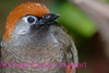 A5. Red-tailed Laughing Thrush (Garrulax milnei) No post-processing done on photo, only cropped. Nikon NEF (RAW) files available. NPP Straight photography at noPhotoShopping.com