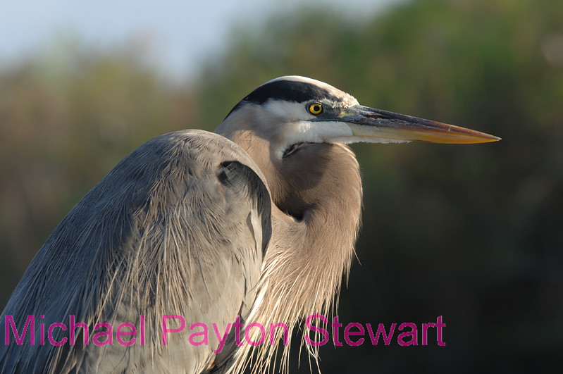 B157. Great Blue Heron. No post-processing done to photo. Nikon NEF (RAW) files available. NPP Straight Photography at noPhotoShopping.com
