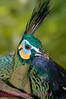 A94. Javan Green Peafowl 3  (Pavo m. muticus) No post-processing done on photo. Nikon NEF (RAW) files available. NPP Straight Photography at noPhotoShopping.com