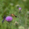 Swallowtails - on thistle