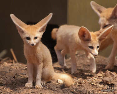 Fennec Fox kit (2.5 month old)
