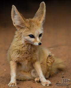 Fennec Fox (Vulpes zerda)