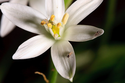 Biting midges, Star-of-Bethlehem