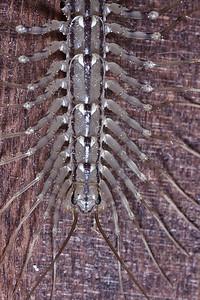 A house centipede (Scutigera coleoptrata) climbing a wooden door.