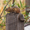 Chipmunk on post