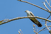 A sunny day in May and a male cuckoo calls from a perch in an ash tree at RSPB Greylake reserve.