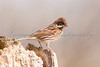 Reed bunting (Emberiza schoeniclus) perched on a rotten willow stump at Grey Lake nature reserve.