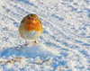 Robin in the Cold