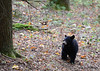 Wild Bear Cub at Cades Cove