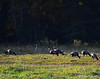 Wild Turkeys Cades Cove