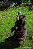 Grandfather Mountain Zoo Bear