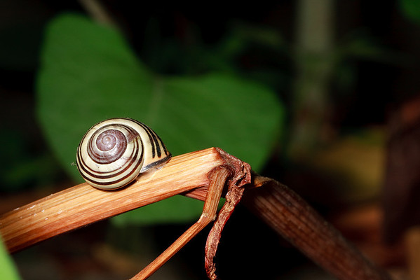Garden snail on a dried stalk