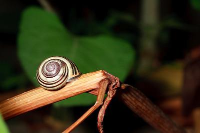 Garden snail on a dried stalk