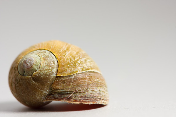 A periwinkle shell