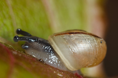 A young garden snail (Helix aspersa) on a sumac bush.