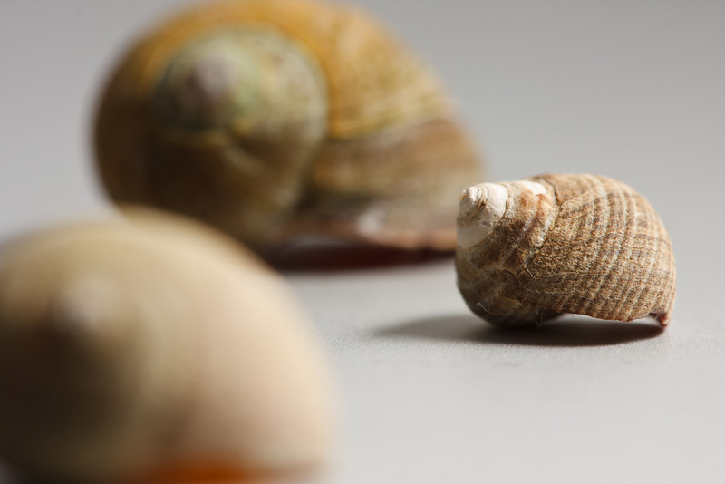 Three periwinkle shells