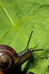 A garden snail (Helix aspersa) crawls across a fallen leaf.