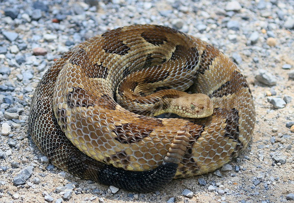 Coiled Timber Rattler - 5/24/07