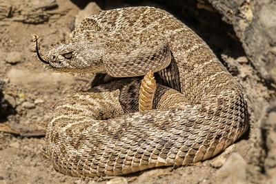 Western Diamondback Rattlesnake.  Tongue flashing to help smell.  Arizona