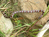 snake eats snake<br /> <br /> Ich hatte wohl seltenes Glueck. In unserem Vorgarten hatte sich im spaeten Oktober 2004 eine Milchschlange an einer anderen Schlange genusslich gelabt. Wobei der Kopf der kleineren schon lange verschwunden war waehrend sich der Schwanz noch immer an irgendwelchen Grashalmen klammerte.