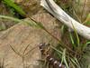 snake eats snake<br /> Ich hatte wohl seltenes Glueck. In unserem Vorgarten hatte sich im spaeten Oktober 2004 eine Milchschlange an einer anderen Schlange genusslich gelabt. Wobei der Kopf der kleineren schon lange verschwunden war waehrend sich der Schwanz noch immer an irgendwelchen Grashalmen klammerte.
