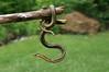 die gemeine Gartenschlange, gibt einige hier rund ums Haus