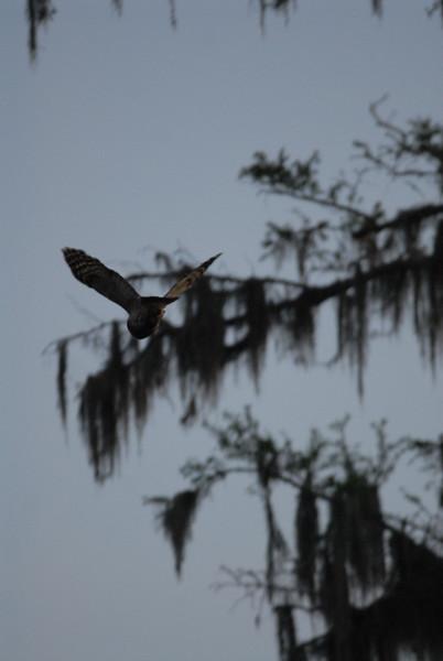 Barred owl at dusk, snakes trust musk.