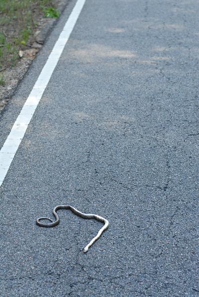 Roadkill black rat snake.