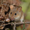 Arboreal nesting mice such as this golden mouse can still be reached by snakes with excellent climbing ability