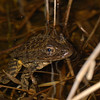 Frogs that breed in aquatic bodies of water, like this gopher frog are a major food source for aquatic snakes.