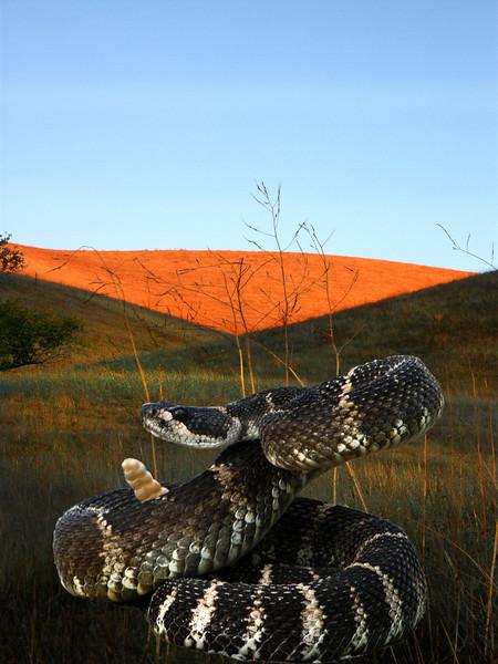 Rattlesnake Red