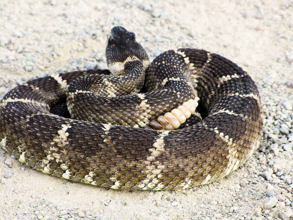 Pacific Western Rattlesnake.    My dog, Jazz, was bit on the nose by one of these.  She came home from overnight ER with a big swollen neck and a red bandana.  I'm a believer that Jazz's $15 rattlesnake vaccine bought her enough time to hike out and lessen the severity of her reaction.