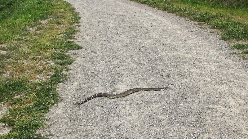 Why did the snake cross the road?