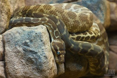Rough-Scaled Python (Morelia carinata)