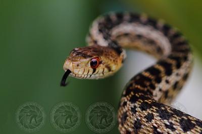 """Eye on you"" Gopher Snake - Alpine, Ca"